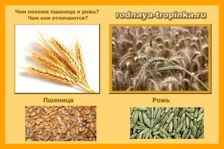 пшениця і жито. порівняння.