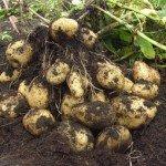 Агротехніка картоплі