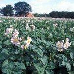 Густота посадки картоплі