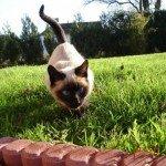 Про різновиди сіамських котів