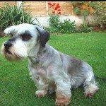 Собака Чеський тер'єр: правильний догляд за породою собак Чеський тер'єр і його цуценятами