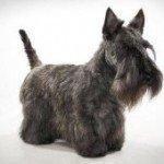 Шотландський тер'єр: опис характеру і породи