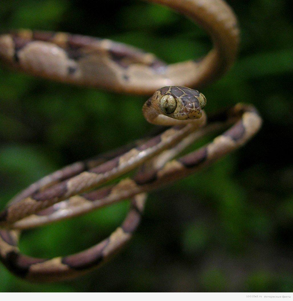ремневідниє змія