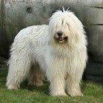 Собака Південноросійська вівчарка: правильний догляд за породою собак Південноросійська вівчарка і його цуценятами