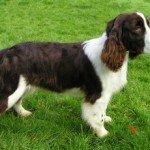Собака Англійська спрингер спанієль: правильний догляд за породою собак Англійська спрингер спанієль і його цуценятами