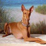 Фараонова собака – історія виникнення породи і характер собаки