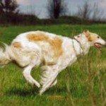 Російський хорт: від історії до догляду за собакою
