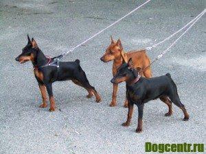 Собака Пинчер подразделена на породи -лісій і карликовий