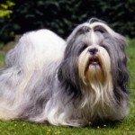Ши тцу: догляд за невеликий собакою