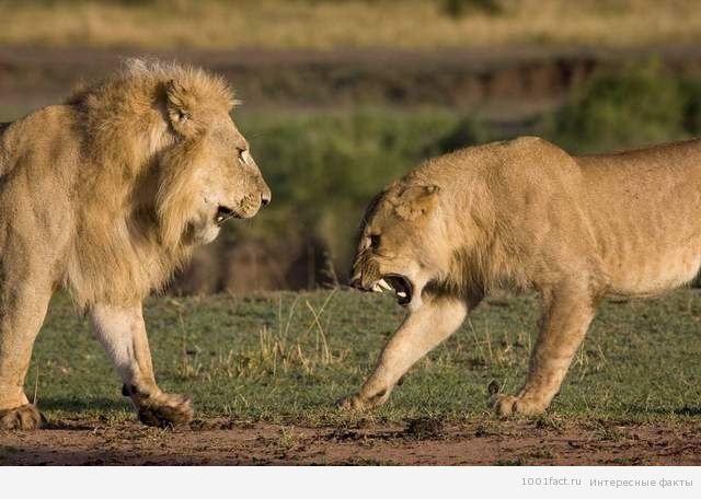Факти про левів