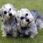 Собака Денді динмонт тер'єр: правильний догляд за породою собак Денді динмонт тер'єр і його цуценятами