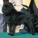 Собака Аффен пінчер: правильний догляд за породою собак Аффен пінчер і його цуценятами