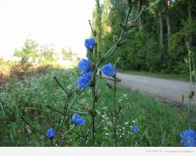 рослина цикорій