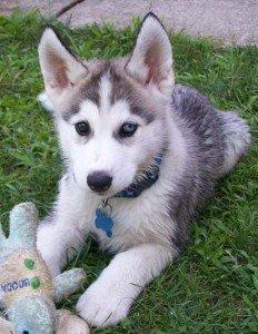 Собака Західносибірська лайка: правильний догляд за породою собак Західно сибірська лайка і його цуценятами