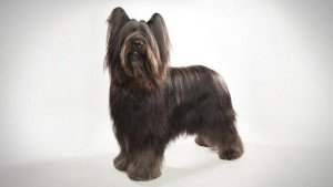 Собака Бриар: правильний догляд за породою собак Бріар і його цуценятами