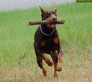 Собака доберман створена для активного життя людини