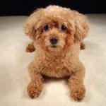 Собака Карликовий пудель: правильний догляд за породою собак Карликовий пудель і його цуценятами