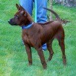 Тайський риджбек: утримання собаки вдома