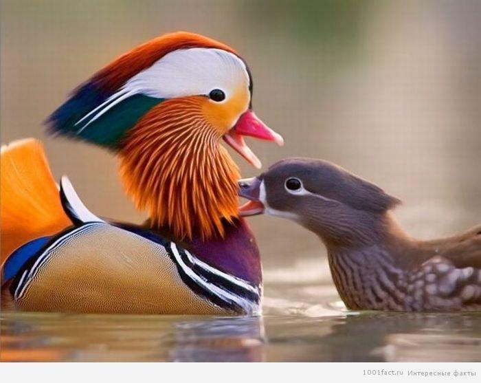 """Цікаві факти про качку """"мандаринка"""""""