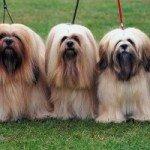 Собака лхасского апсо: правильний догляд за породою собак лхасского апсо і його цуценятами