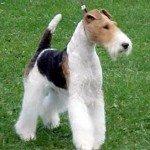 Собака Фокстерьер: правильний догляд за породою собак Фокстер'єр і його цуценятами