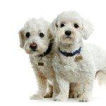 Собака Мальтійська болонка: правильний догляд за породою собак Мальтійська болонка і його цуценятами