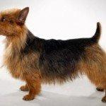 Собака Австралійський тер'єр: правильний догляд за породою собак Австралійський тер'єр і його цуценятами