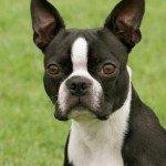 Бостонський тер'єр: характер і здоров'я собаки