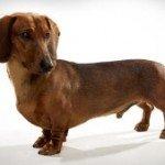 Такса: турбота про собаку на коротких лапках