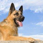 Собака Німецька вівчарка: правильний догляд за породою собак Німецька вівчарка і його цуценятами