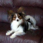 Собака Папільон: правильний догляд за породою собак Папільон і його цуценятами