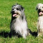 Собака Піренейська вівчарка: правильний догляд за породою собак Піренейська вівчарка і його цуценятами