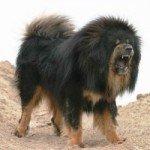 Собака Піренейський мастиф: правильний догляд за породою собак Піренейський мастиф і його цуценятами