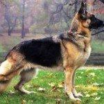 Німецька вівчарка: доглядаємо за цуценятами і дорослим собакою