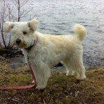 Собака Пумі: правильний догляд за породою собак Пумі і його цуценятами