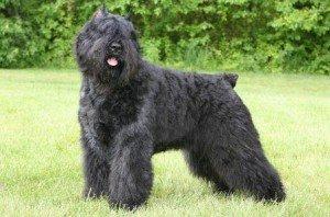 Фландрский бувье: особливості породи і утримання собаки