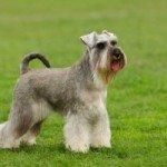 Собака Різеншнауцер: правильний догляд за породою собак Різеншнауцер і його цуценятами