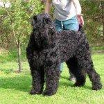 Собака Російський чорний тер'єр: правильний догляд за породою собак Російський чорний тер'єр і його цуценятами