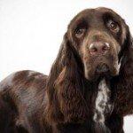 Філд спаніель: грамотне утримання собаки