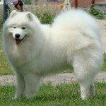 Собака Самоїдська лайка: правильний догляд за породою собак Самоїдська лайка і його цуценятами
