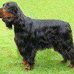 Собака Сетер-гордон: правильний догляд за породою собак Сетер-гордон і його цуценятами