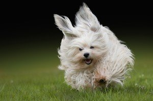 Гаванський бішон: характер, особливості та здоров'я собаки
