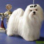 Собака мальтійська болонка – Види, особливості змісту, догляд, здоров'я
