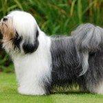 Собака Тибетський тер'єр: правильний догляд за породою собак Тибетський тер'єр і його цуценятами