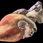 Цікаві факти про серце