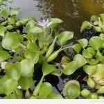 Цікаві факти про водяному гіацинті