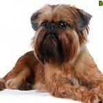 Собака Грифон – опис характеру, догляду, вдачі