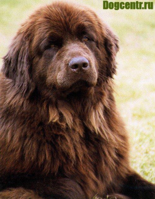 Собака Водолаз має справжні ім'я породи ньюфаундленд