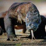 Цікаві факти про Комодський драконі