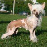 Чубата китайська собака – фотографії, відхід, виховання